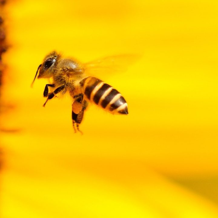 bee, insect, sunflower