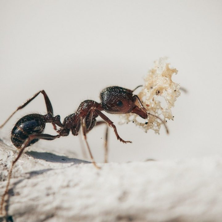 fourmie, macro, insects
