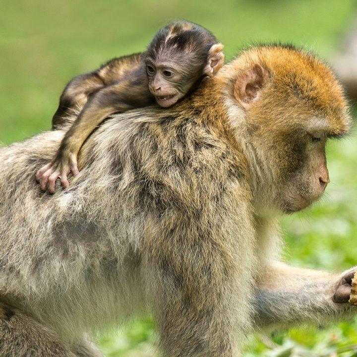 young animal, monkey, barbary ape